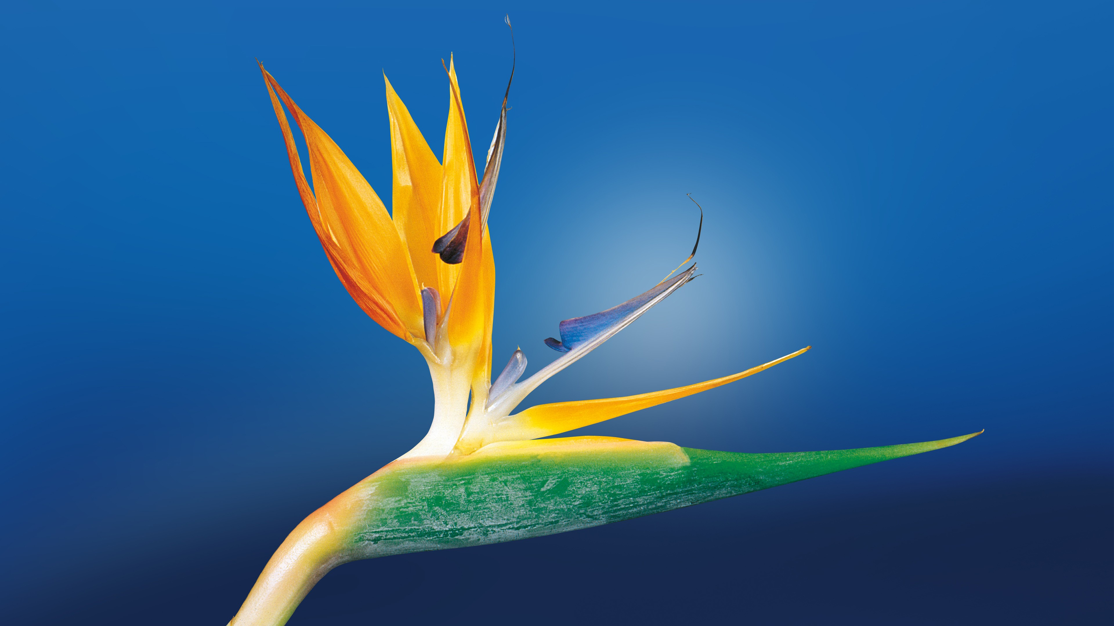 bird of paradise hd flowers 4k wallpapers images