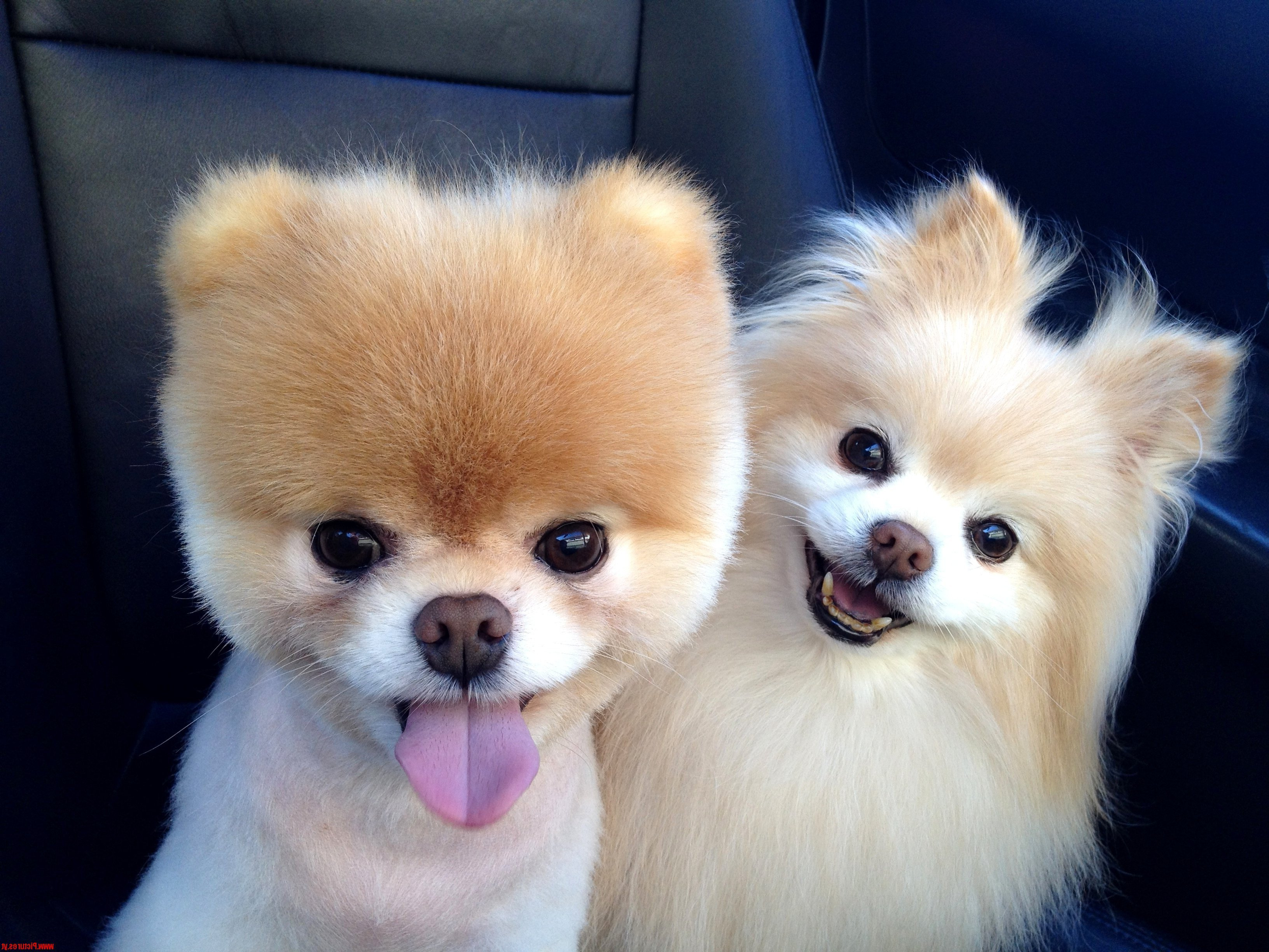 What Breed Of Dog Is Boo The World