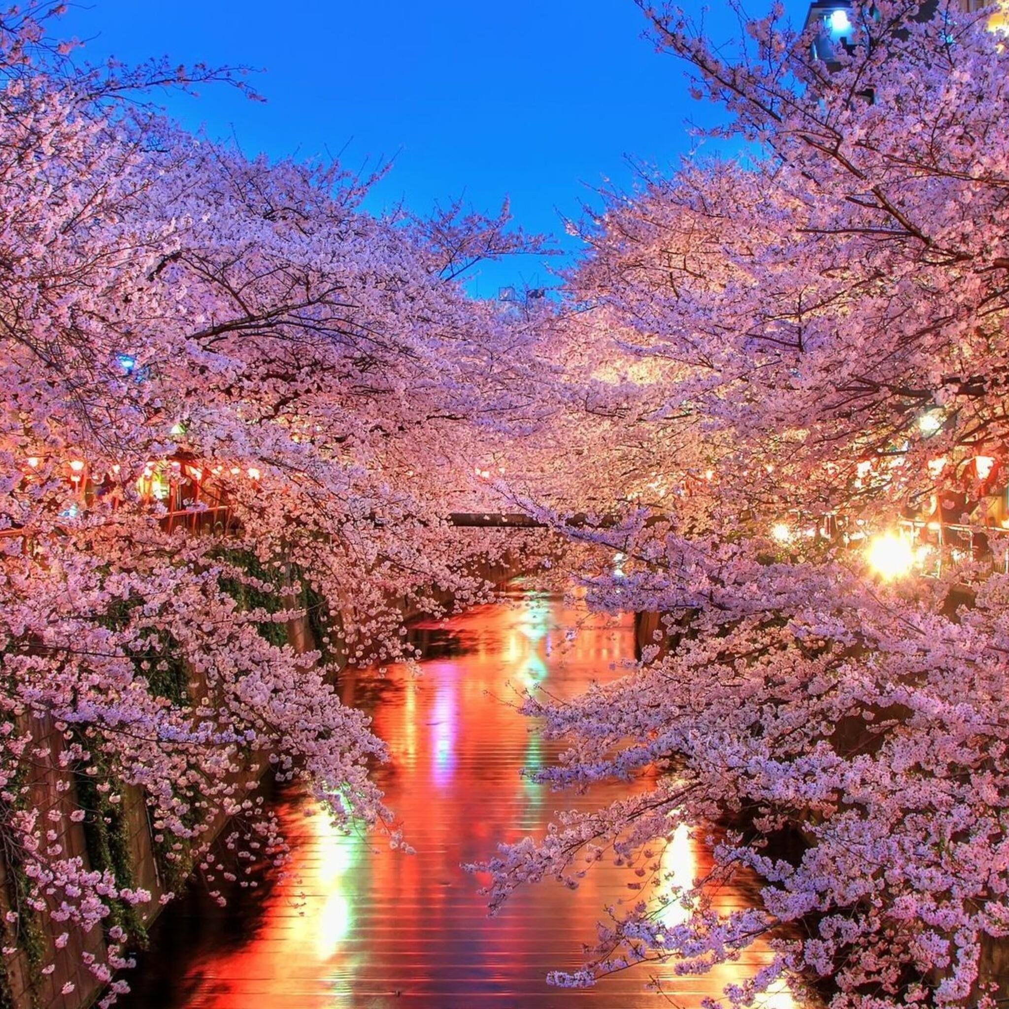 2048x2048 Cherry Blossom Trees Ipad Air HD 4k Wallpapers ...