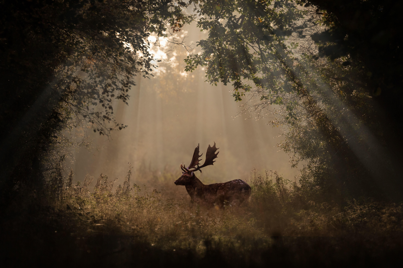 Misty Deer 4k Hd Desktop Wallpaper For 4k Ultra Hd Tv: Deer Mammal Forest Sunbeams 4k 5k, HD Animals, 4k