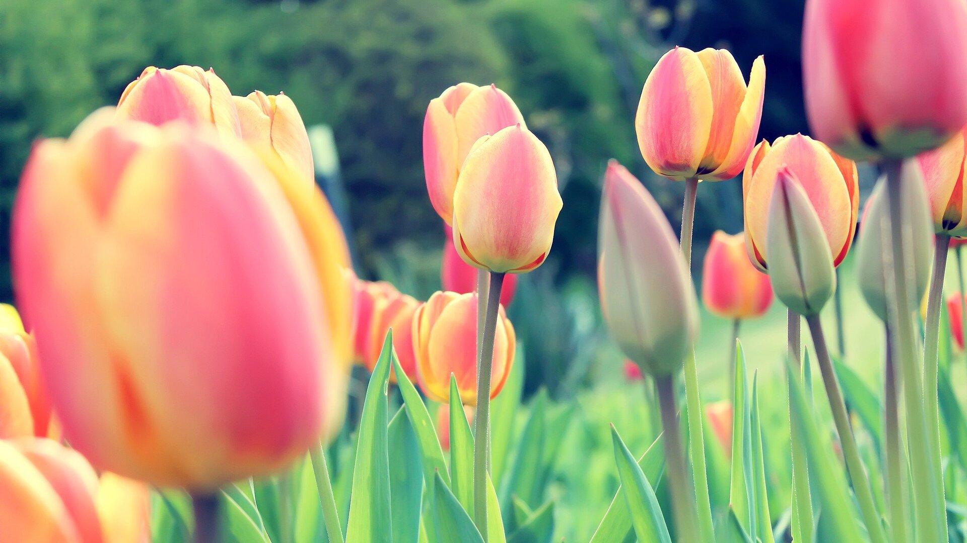 1920x1080 Easter Tulips Laptop Full HD 1080P HD 4k ...