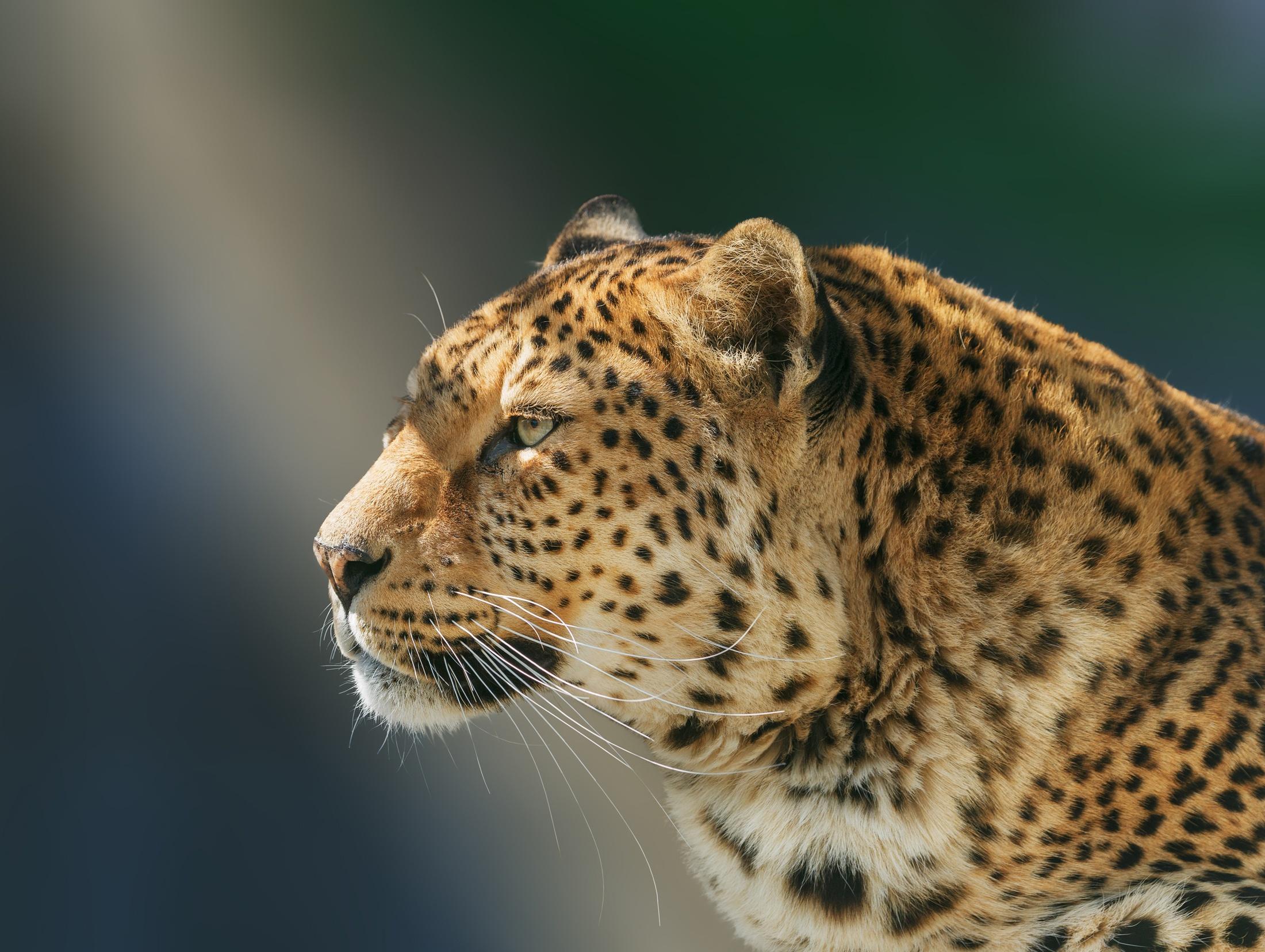 Wallpaper Cheetah Pair Hd Animals 6057: 1920x1080 Leopard Wild Animal Laptop Full HD 1080P HD 4k
