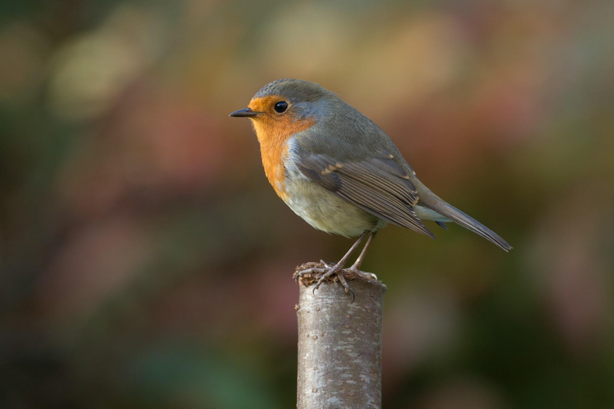 robin bird photography hd birds 4k wallpapers images