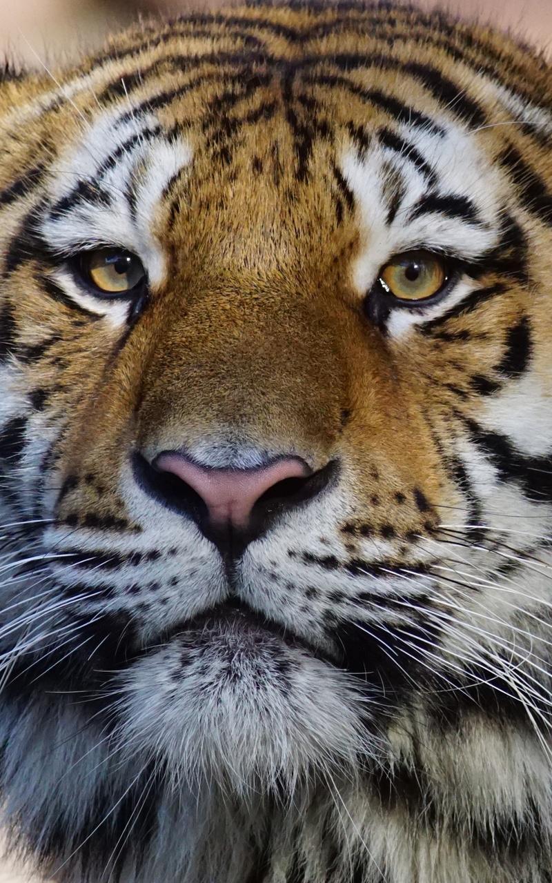 Wild Animals Names Hd Animals Wallpapers 4: 800x1280 Tiger Wild Animal 4k Nexus 7,Samsung Galaxy Tab