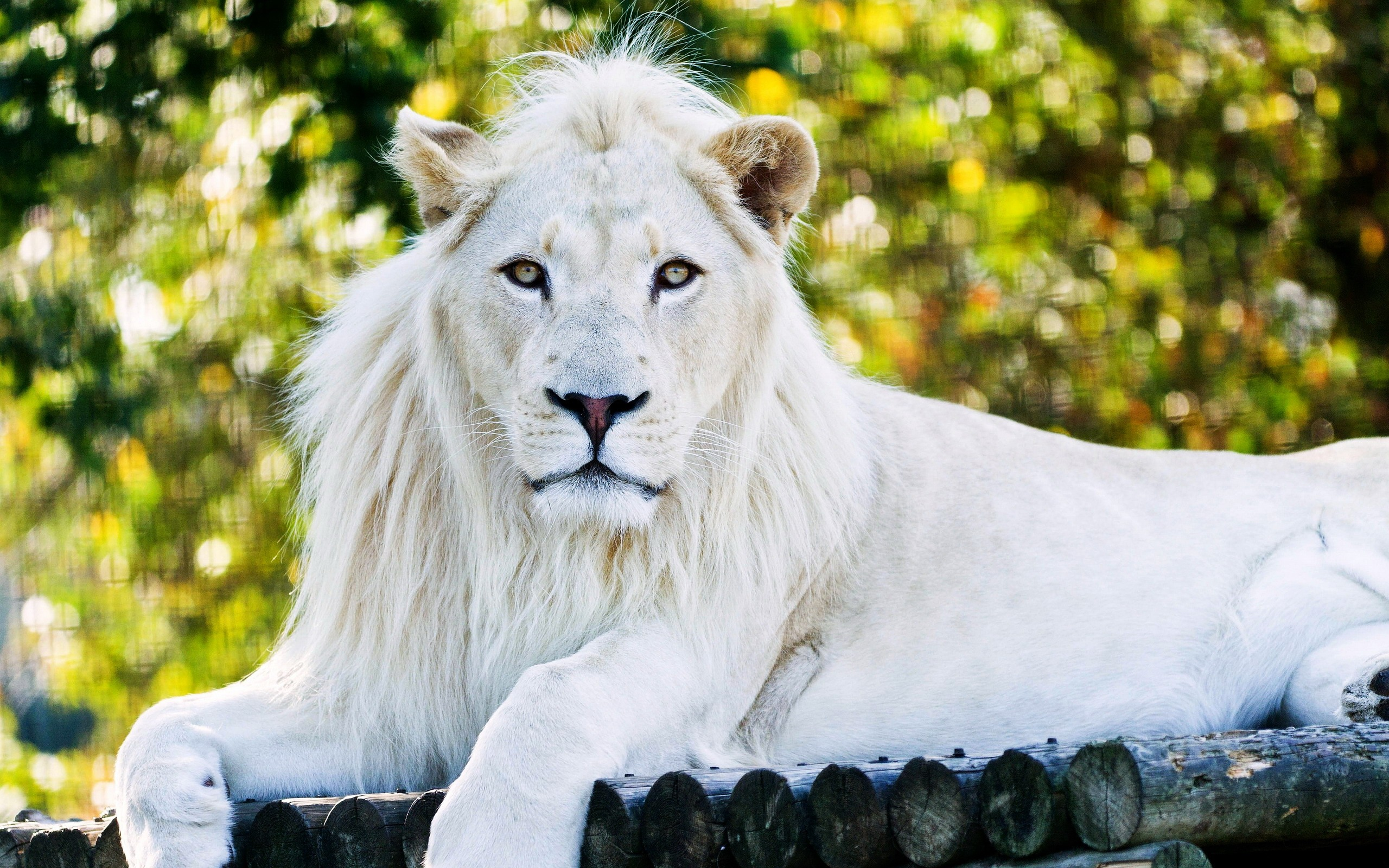 White lion hd animals 4k wallpapers images backgrounds - Lion 4k wallpaper for mobile ...