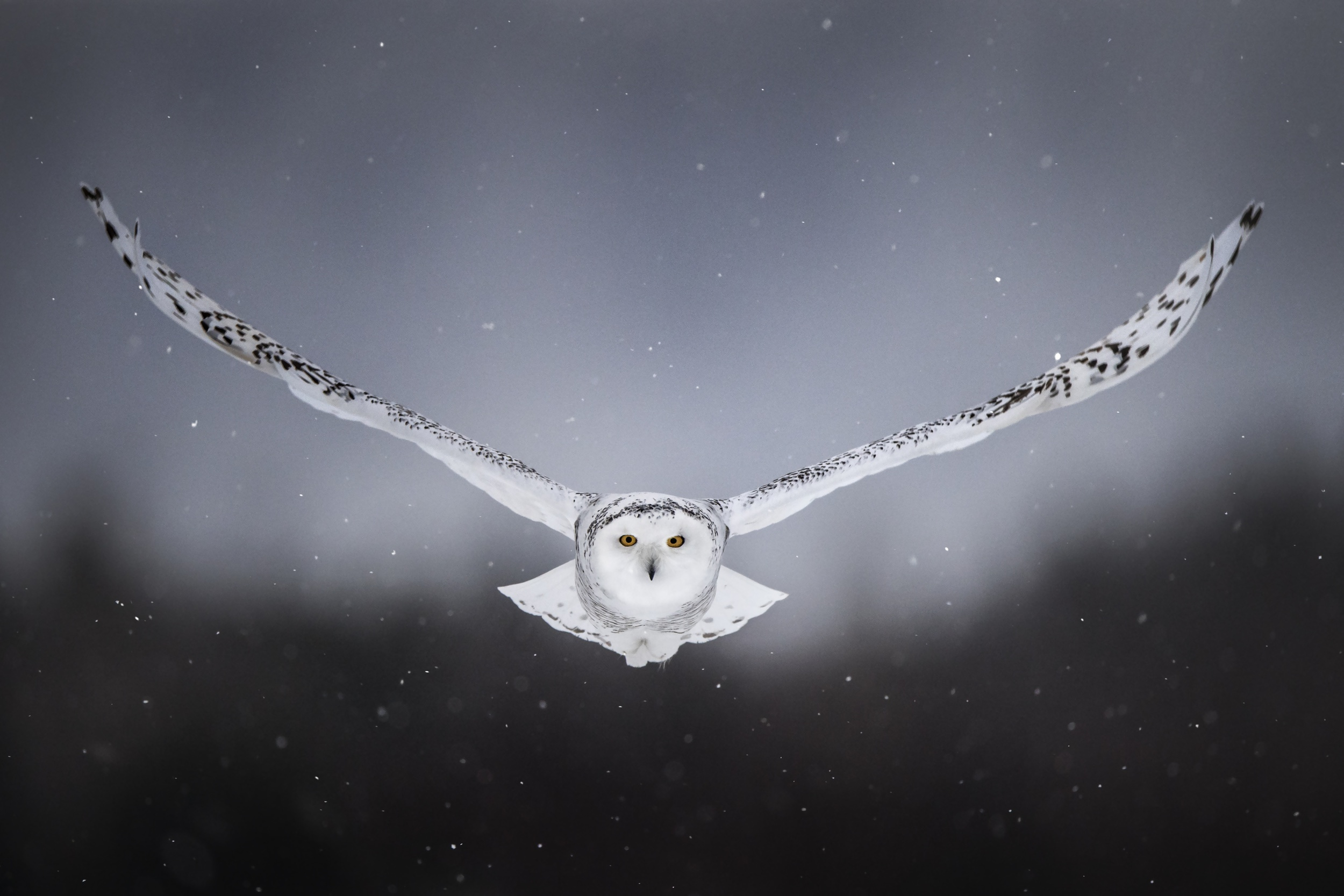 White Snow Owl Flying, HD Birds, 4k Wallpapers, Images ...