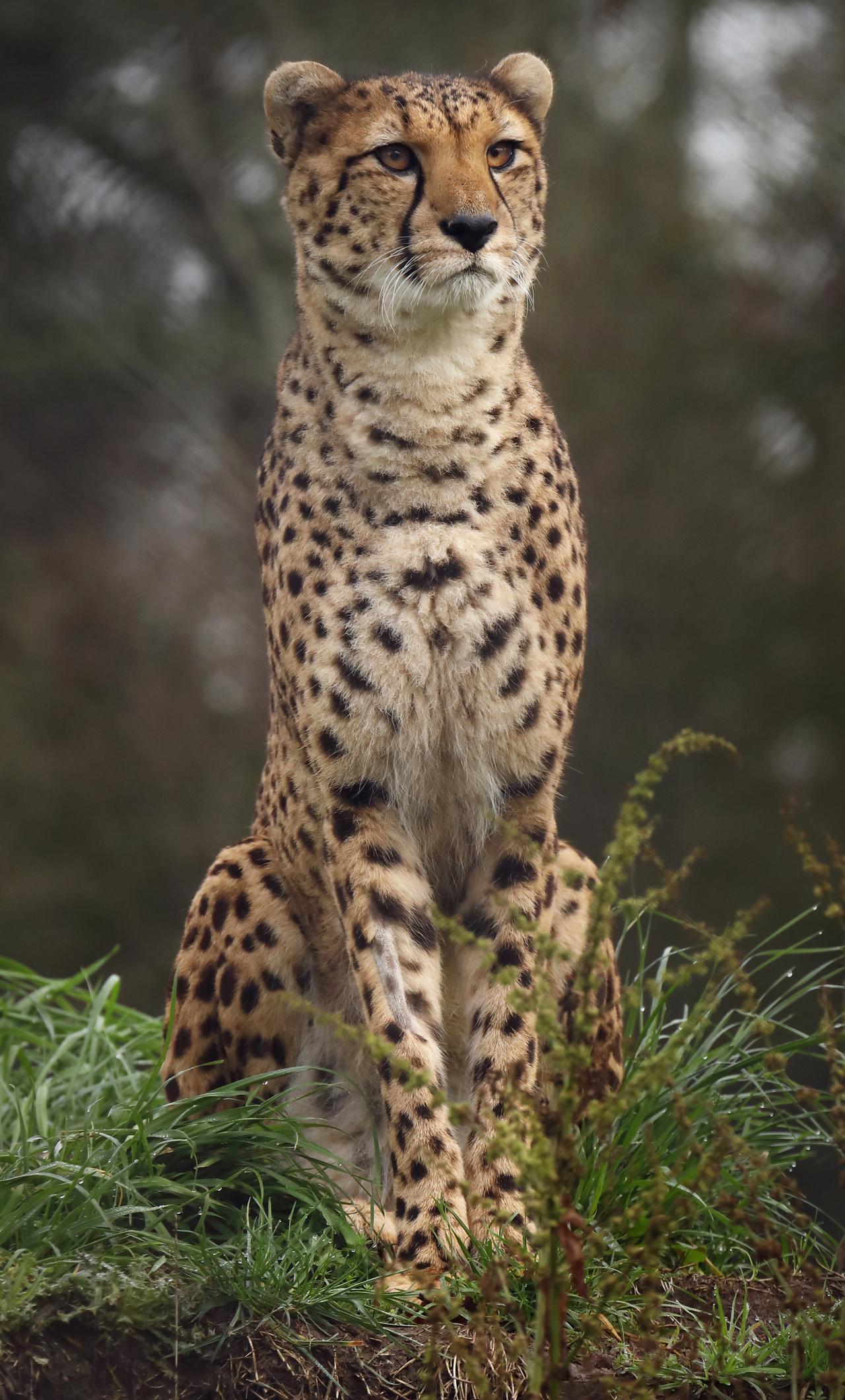 4k-cheetah-wild-8h.jpg