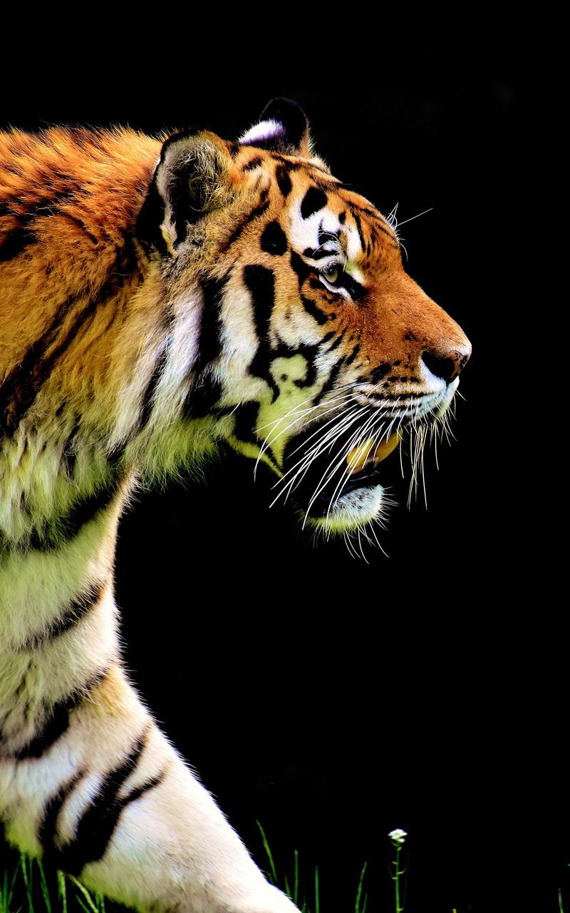 5k-tiger-predator-6j.jpg