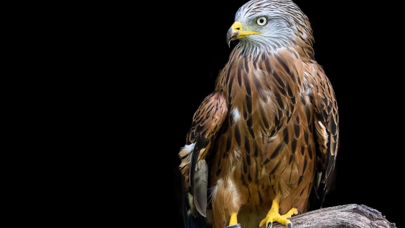 adler-raptor-bird-a4.jpg