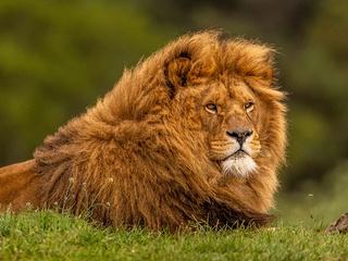 adult-lion-gr.jpg