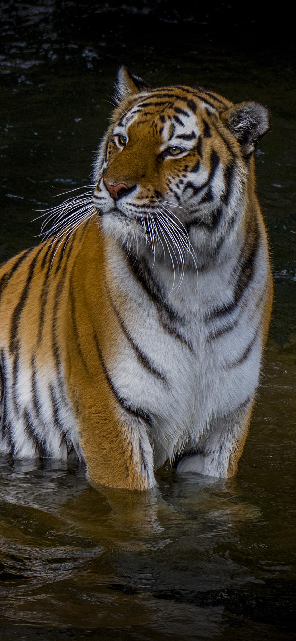 adult-tiger-4k-ub.jpg