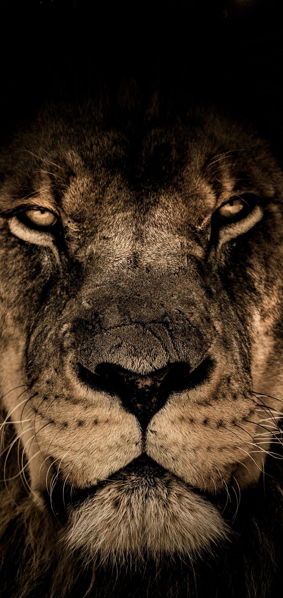 african-lion-face-closeup-5k-ap.jpg