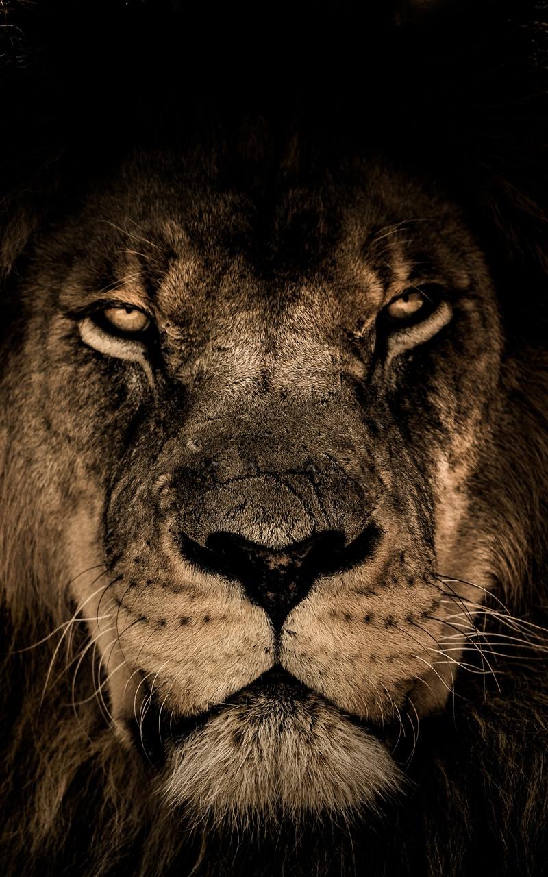 8k Animal Wallpaper Download: 800x1280 African Lion Face Closeup 5k Nexus 7,Samsung