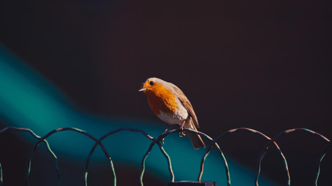 american-robin-bird-5k-oi.jpg