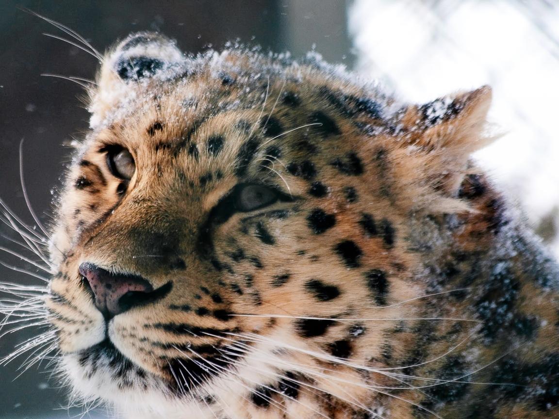 amur-leopard-wild-cat.jpg