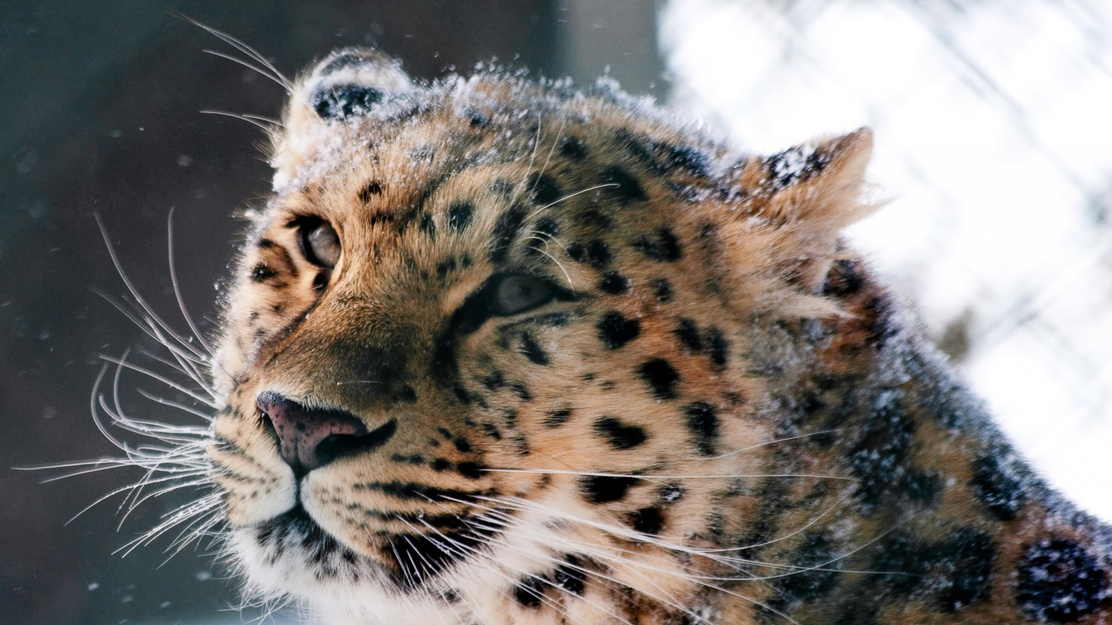 wallpaper amur leopard animal - photo #20