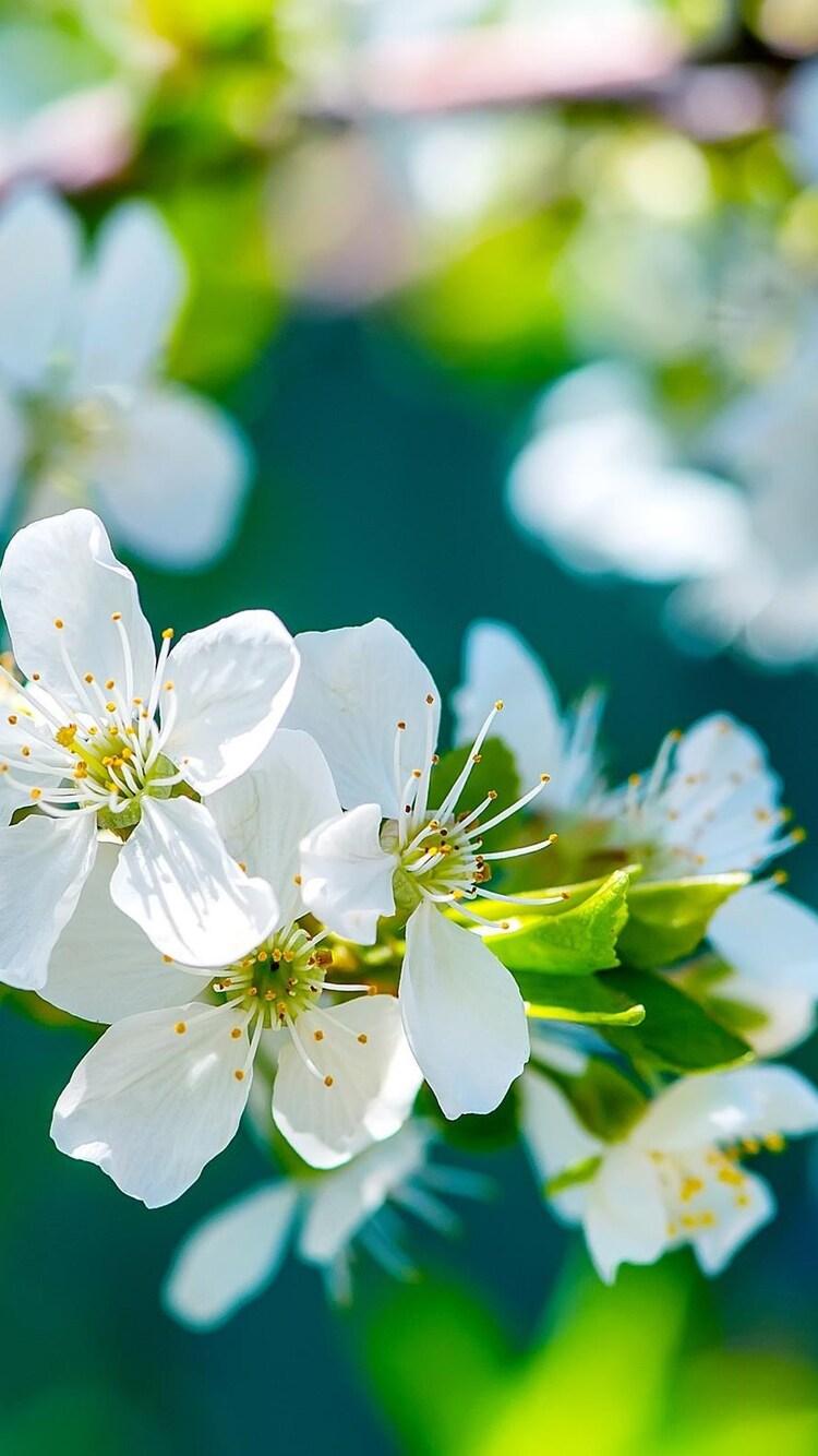 apple-flowers.jpg