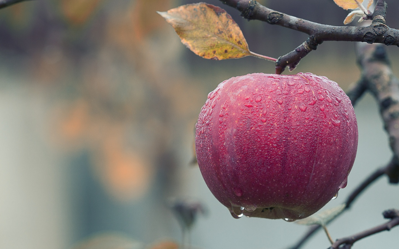 apple-on-a-tree-branch-wd.jpg