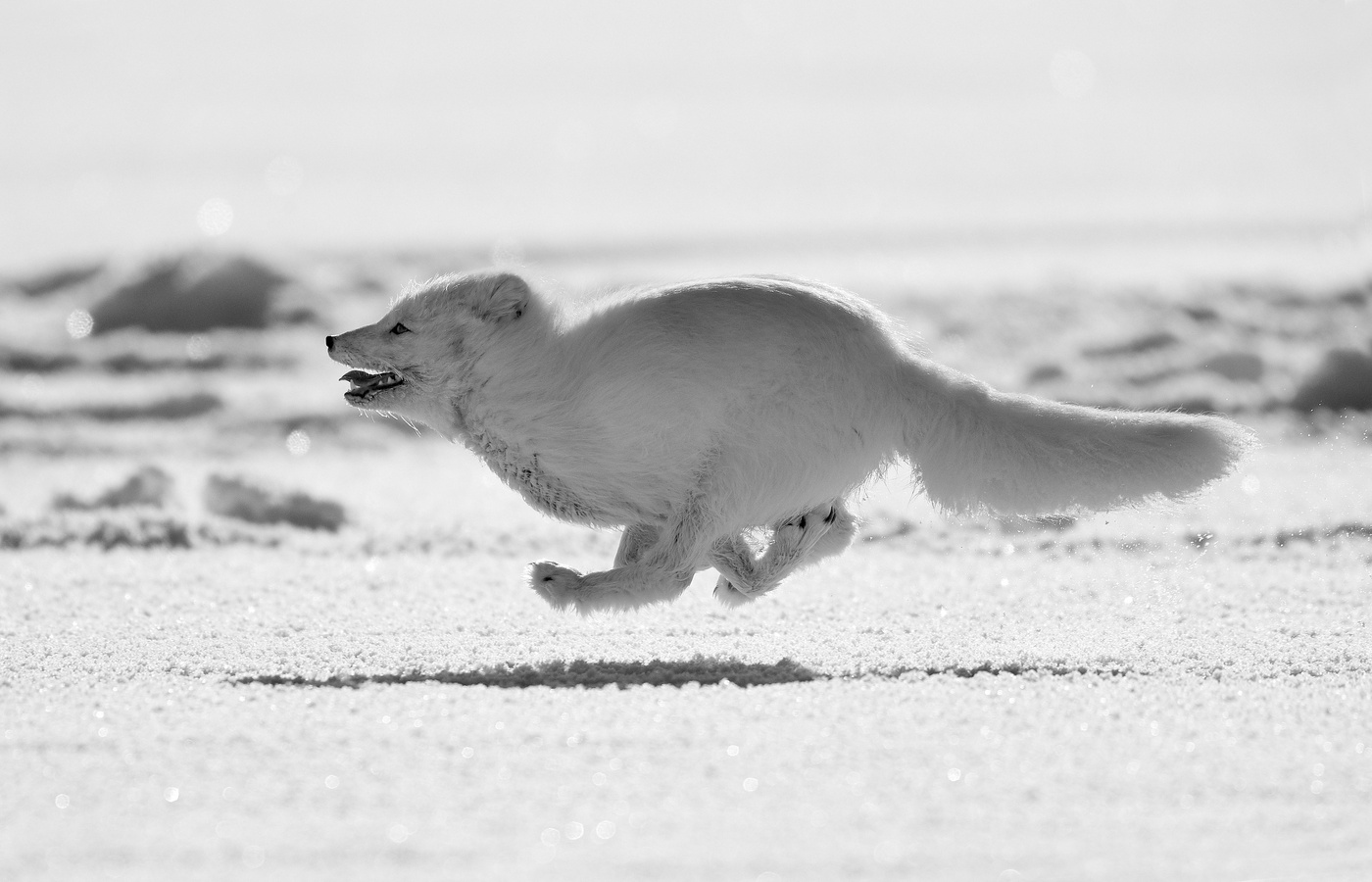 arctic-fox-running-y7.jpg