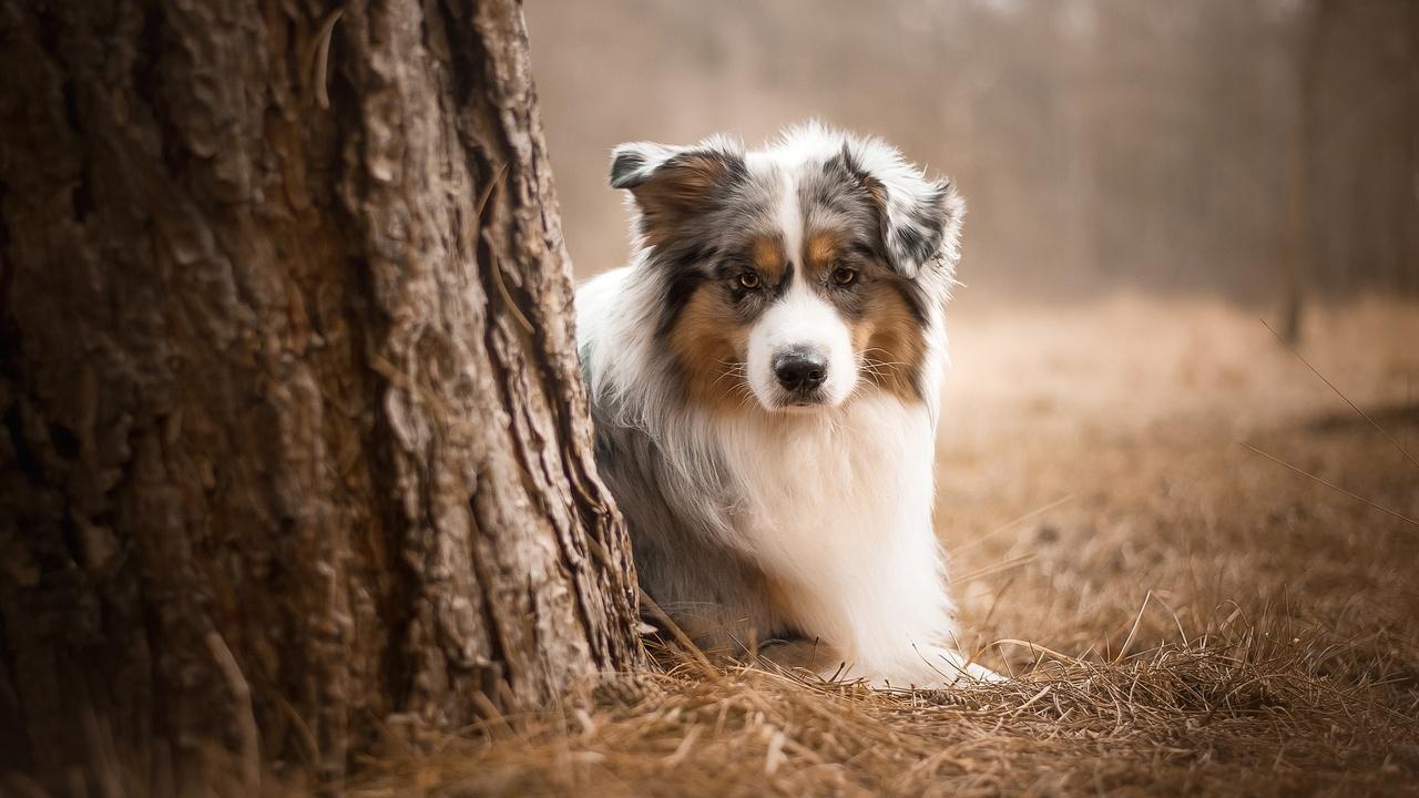 australian-shepherd-dog-m8.jpg