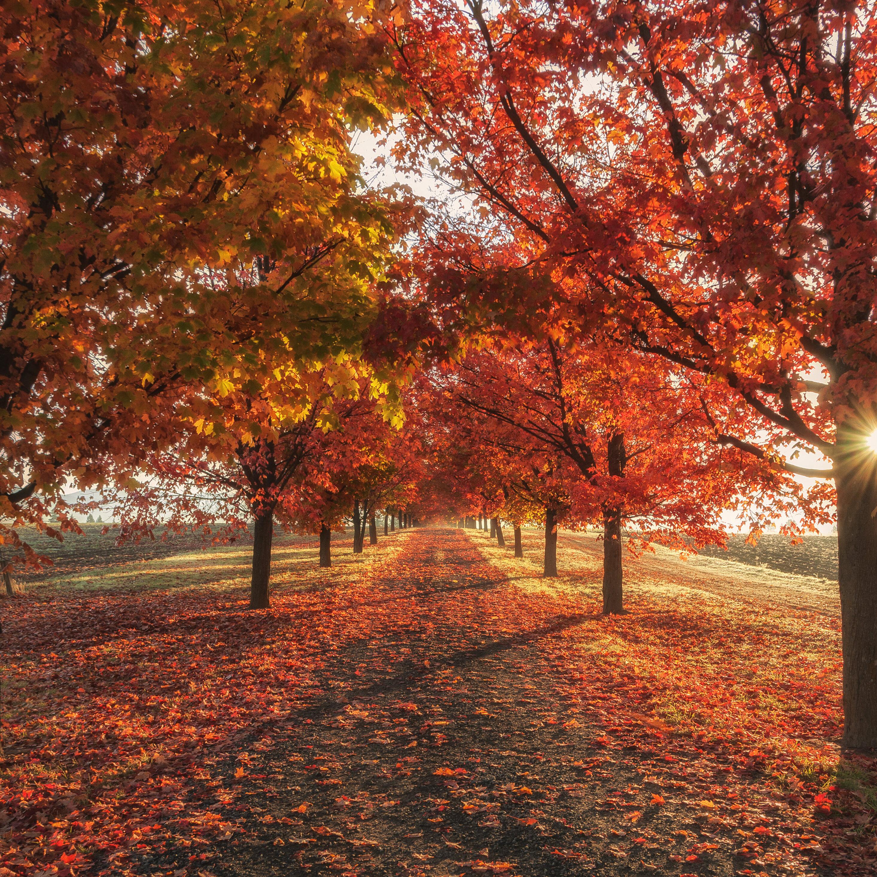 2932x2932 Autumn Fall Season Trees 4k Ipad Pro Retina