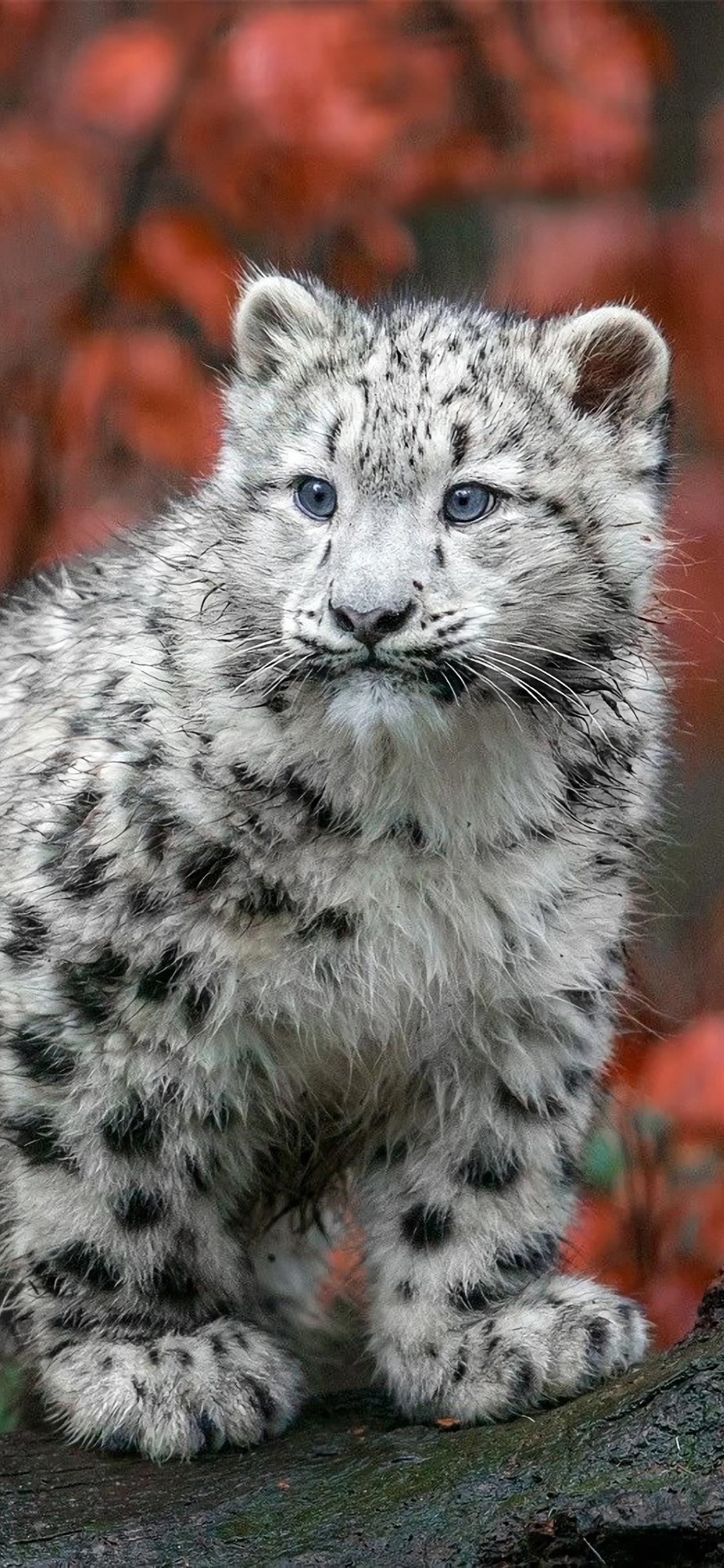 baby-snow-leopard-4k-a6.jpg