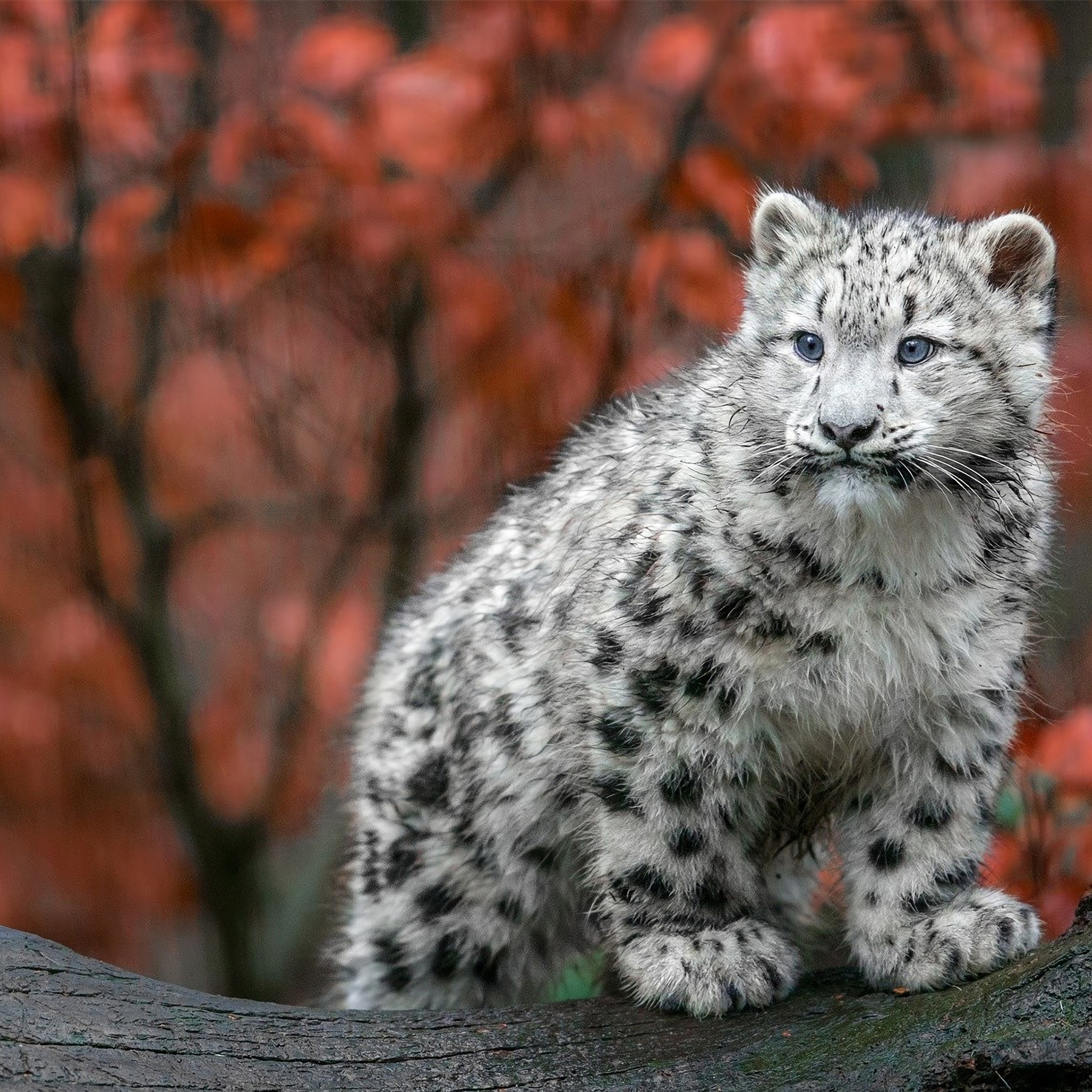 2048x2048 Baby Snow Leopard 4k Ipad Air Hd 4k Wallpapers Images Backgrounds Photos And Pictures