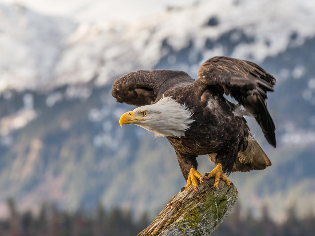 bald-eagle-4k-mt.jpg