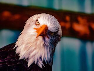 bald-eagle-5k-ku.jpg