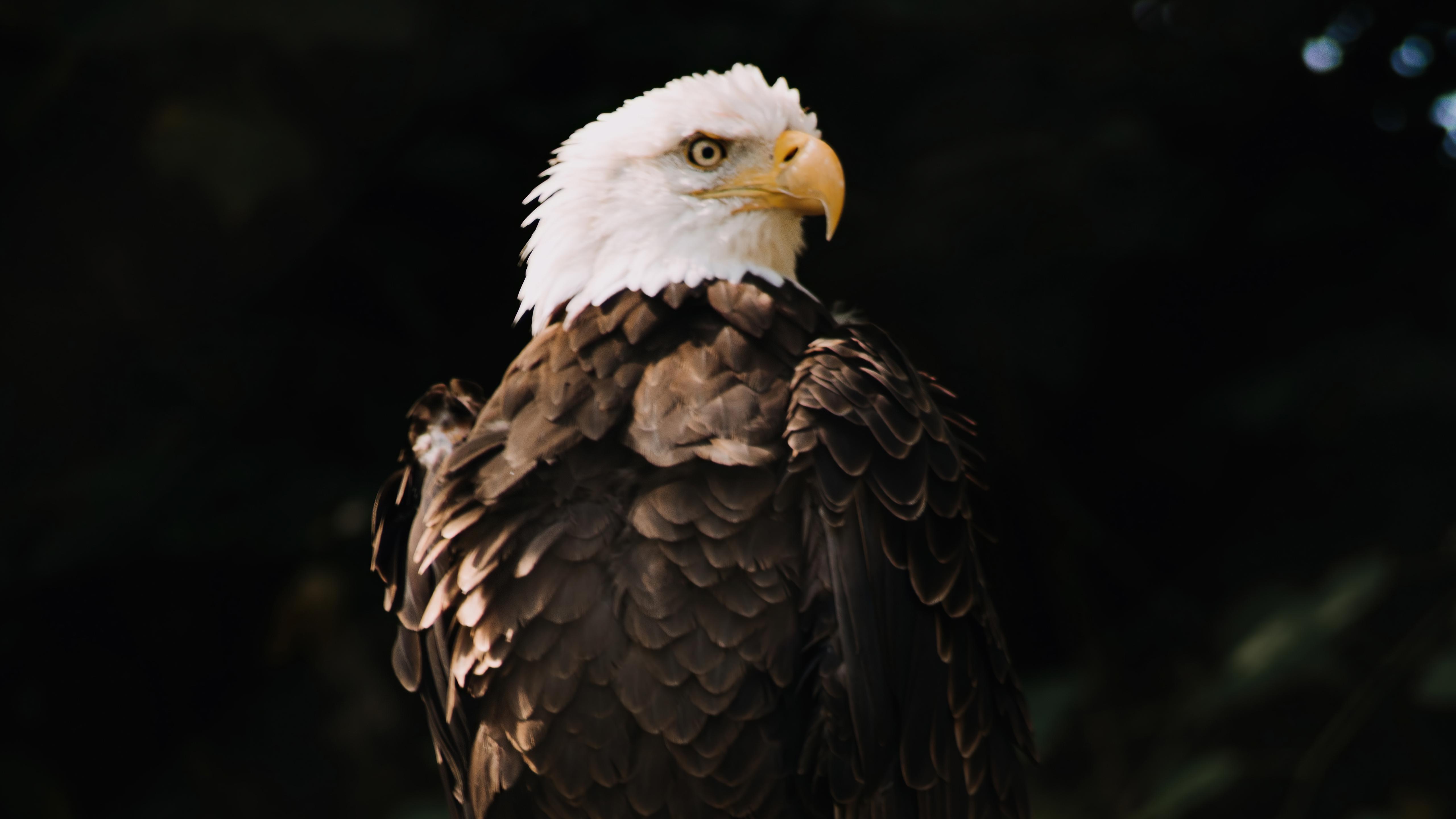 bald-eagle-dark-brown-5k-vu.jpg