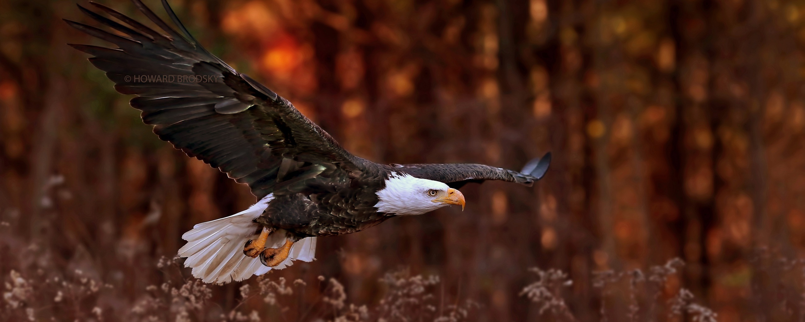 bald-eagle-flight-sq.jpg