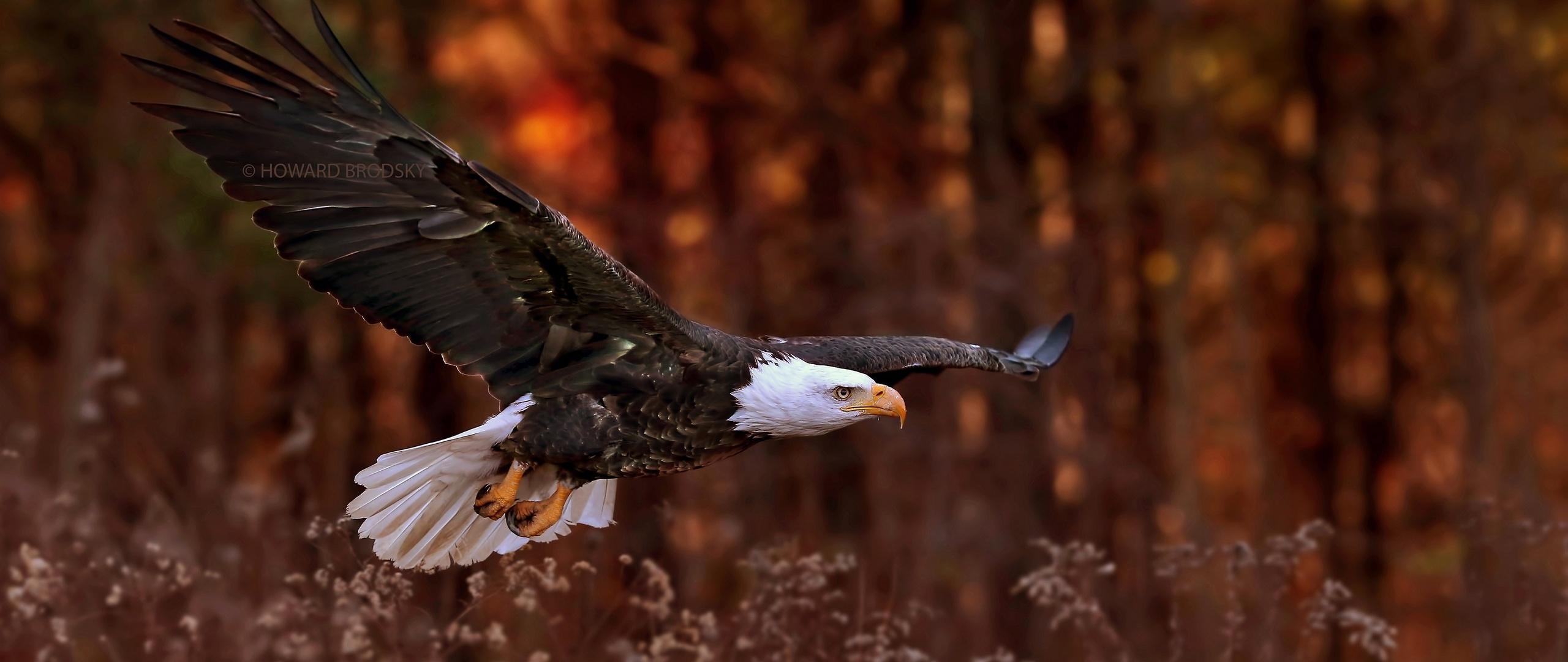 bald-eagle-flight-sq.jpg