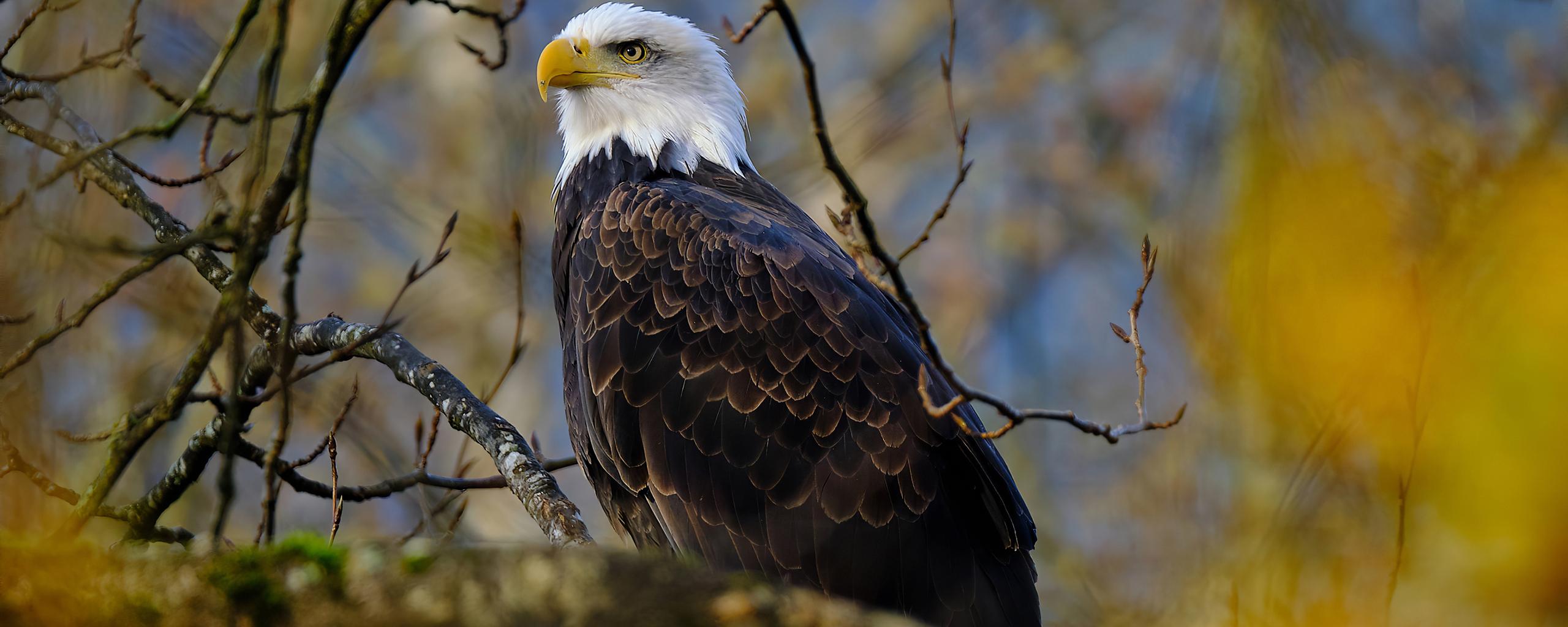 bald-eagle-hawk-4k-rb.jpg