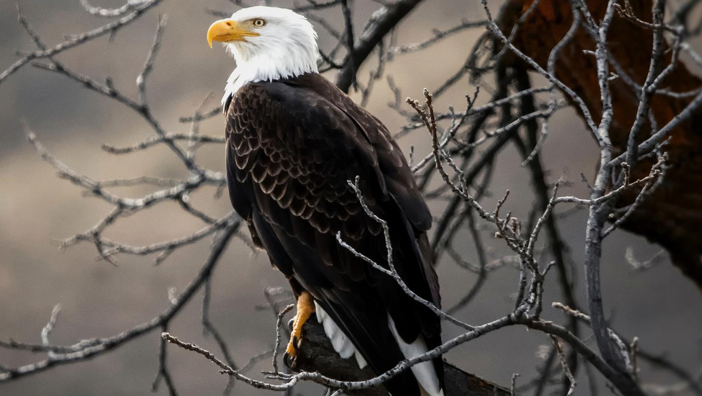 bald-eagle-on-brown-tree-branch-4k-de.jpg
