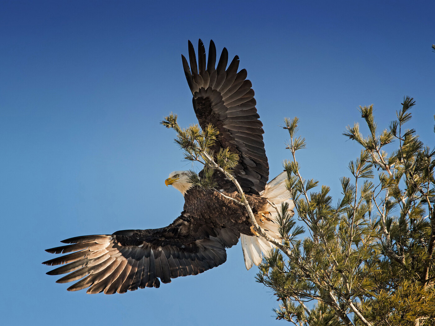 bald-eagle-open-wings-id.jpg