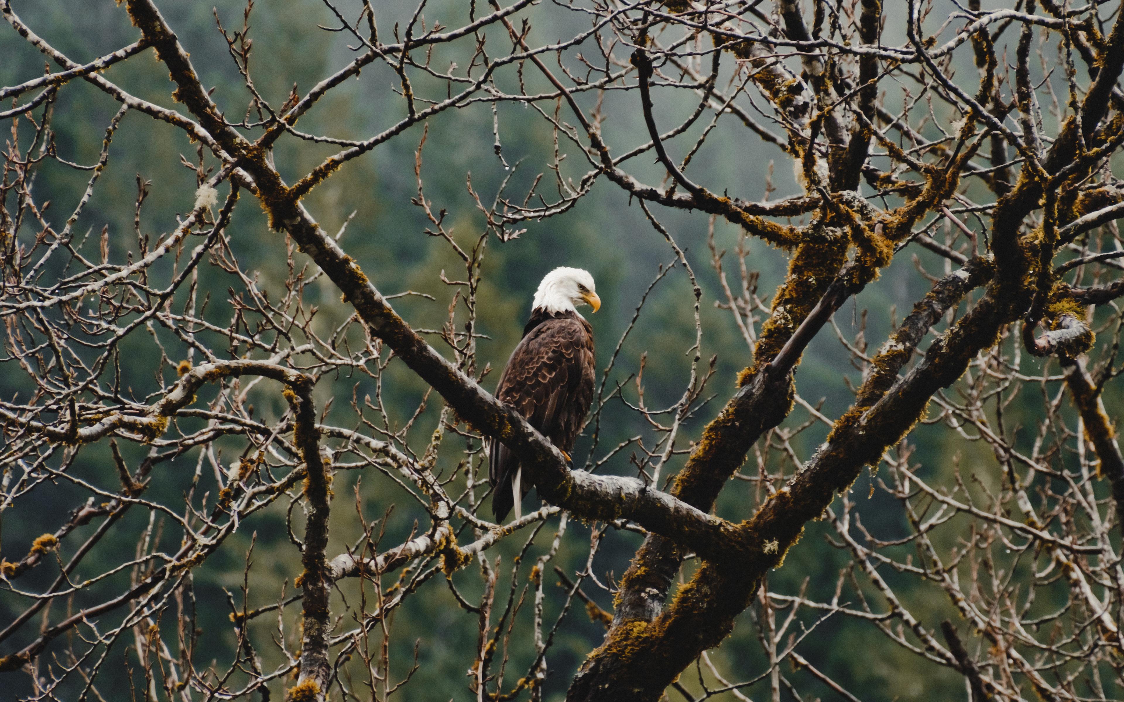 bald-eagle-sitting-on-branch-4k-e8.jpg