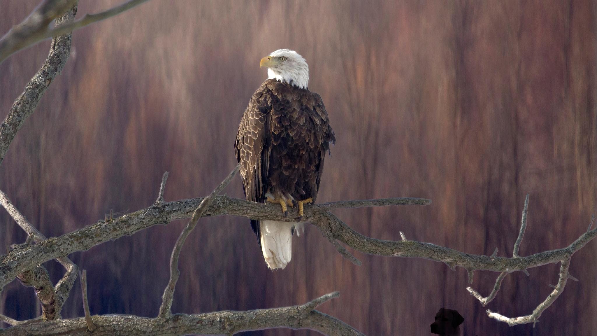 bald-eagle-sitting-on-branch-5k-jh.jpg