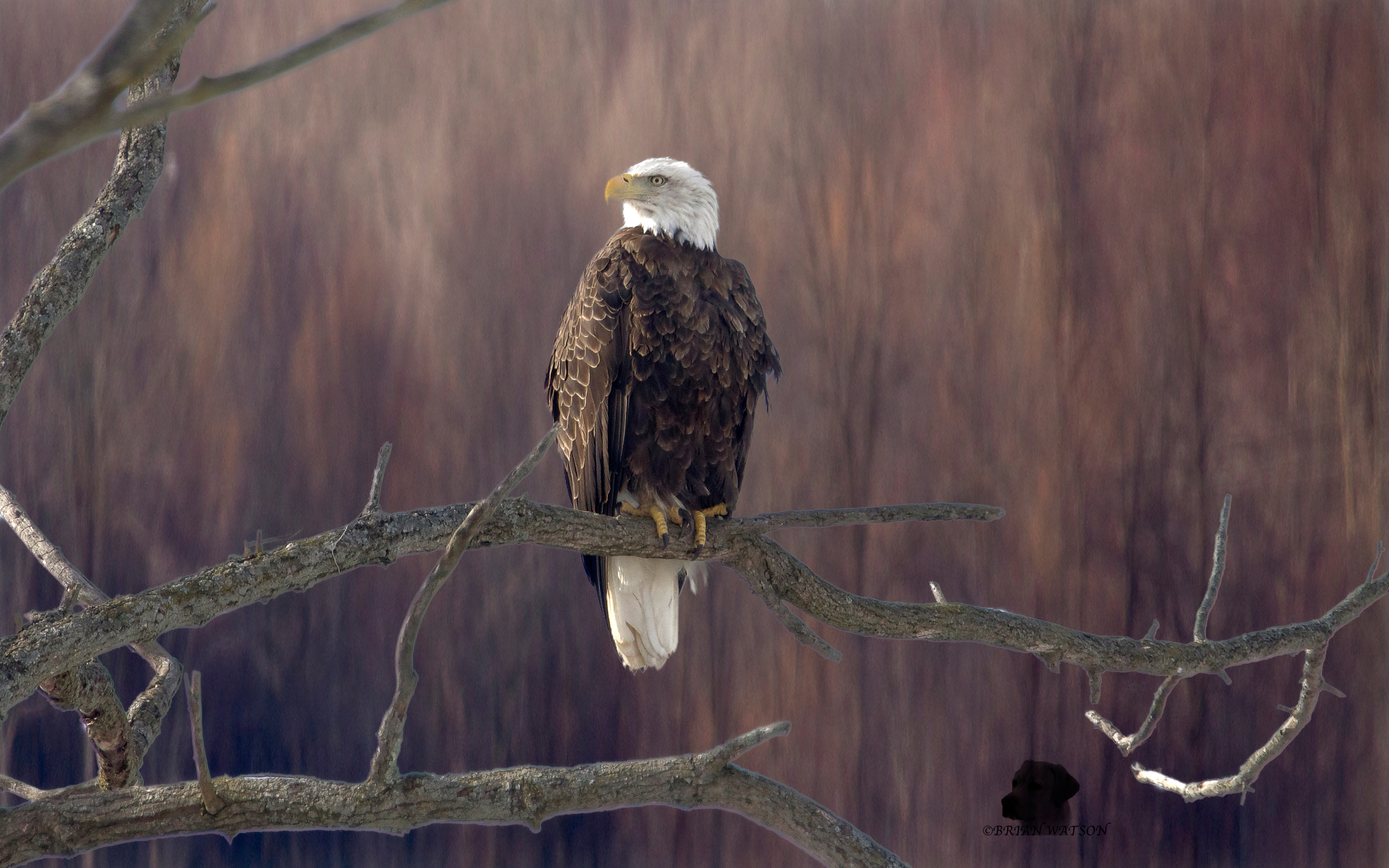 bald-eagle-sitting-on-branch-5k-jh.jpg