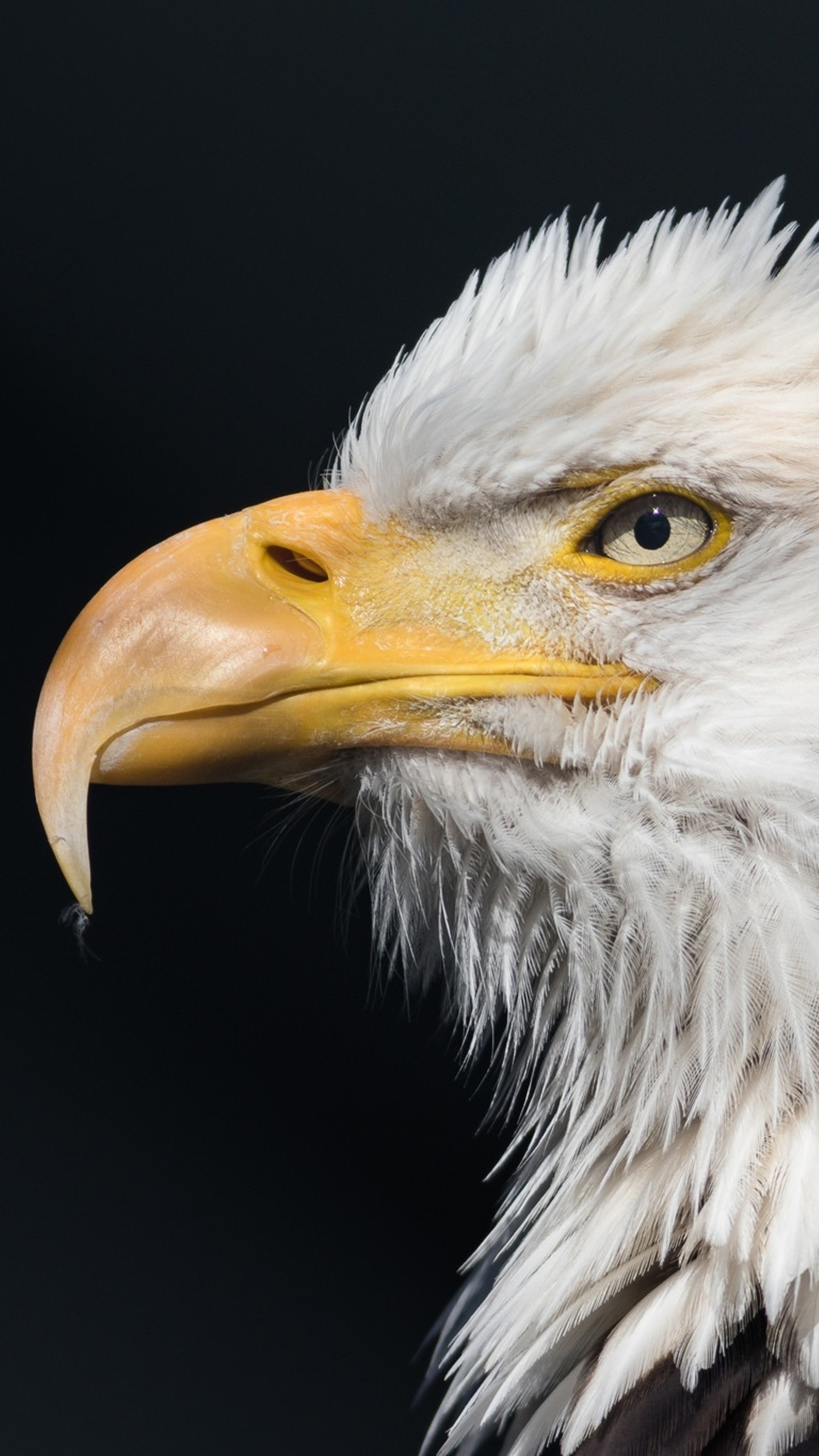 bald-eagle-wild-t7.jpg