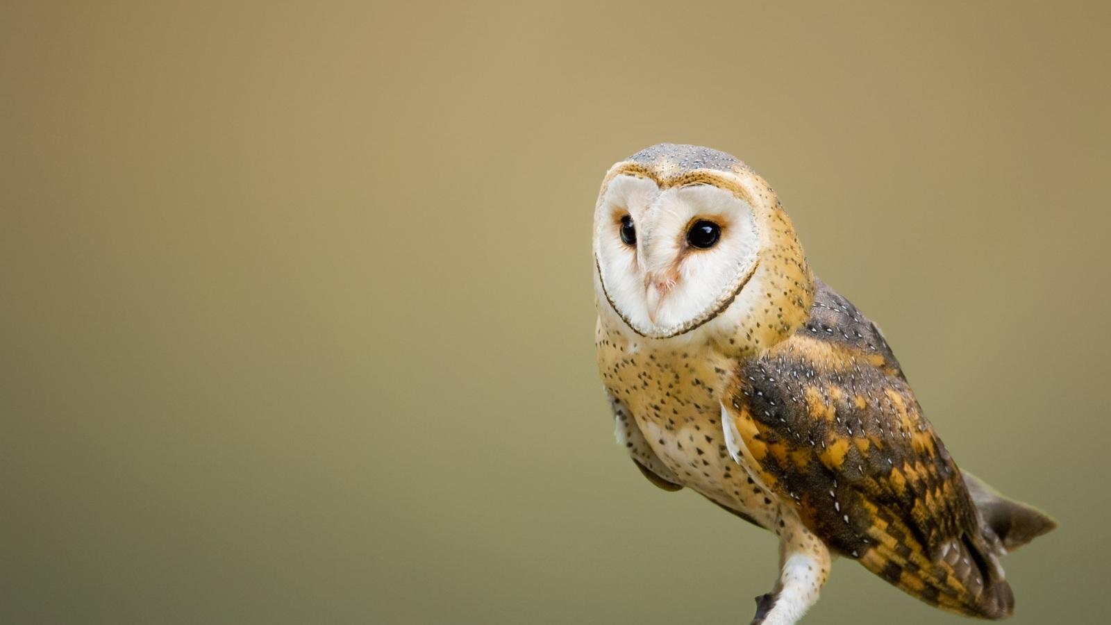 barn-owl-pl.jpg