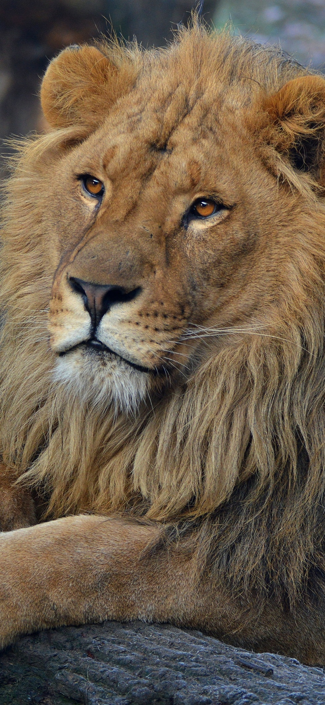 Lion Wallpaper Hd Iphone X