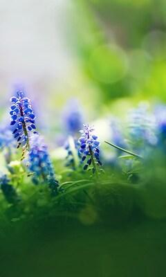 beautiful-muscari-flowers.jpg