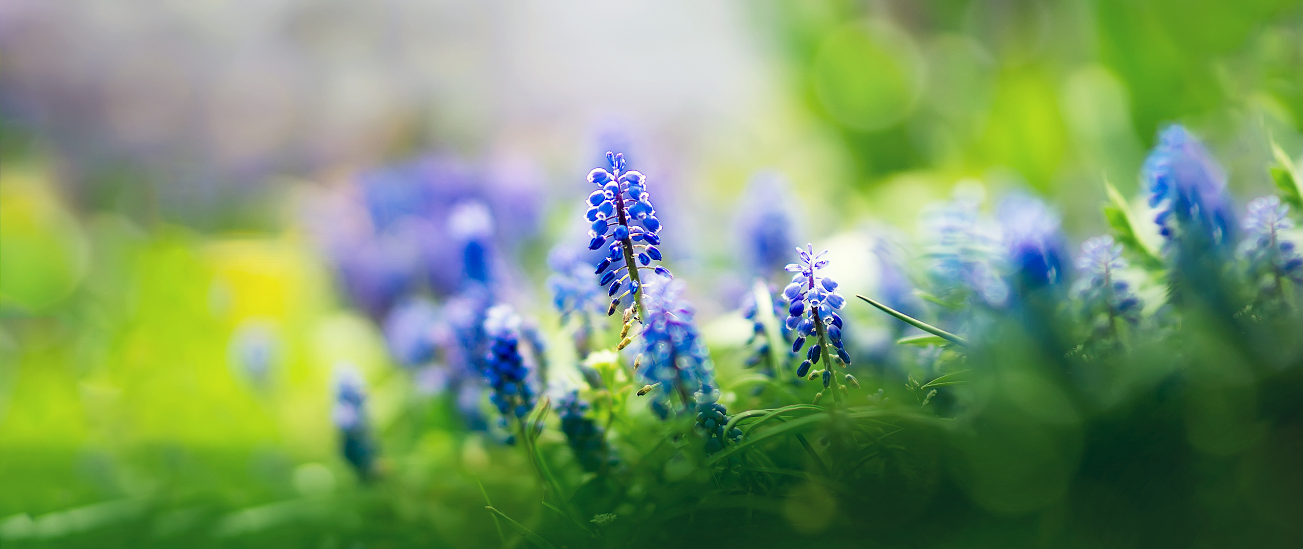 beautiful-muscari-flowers.jpg