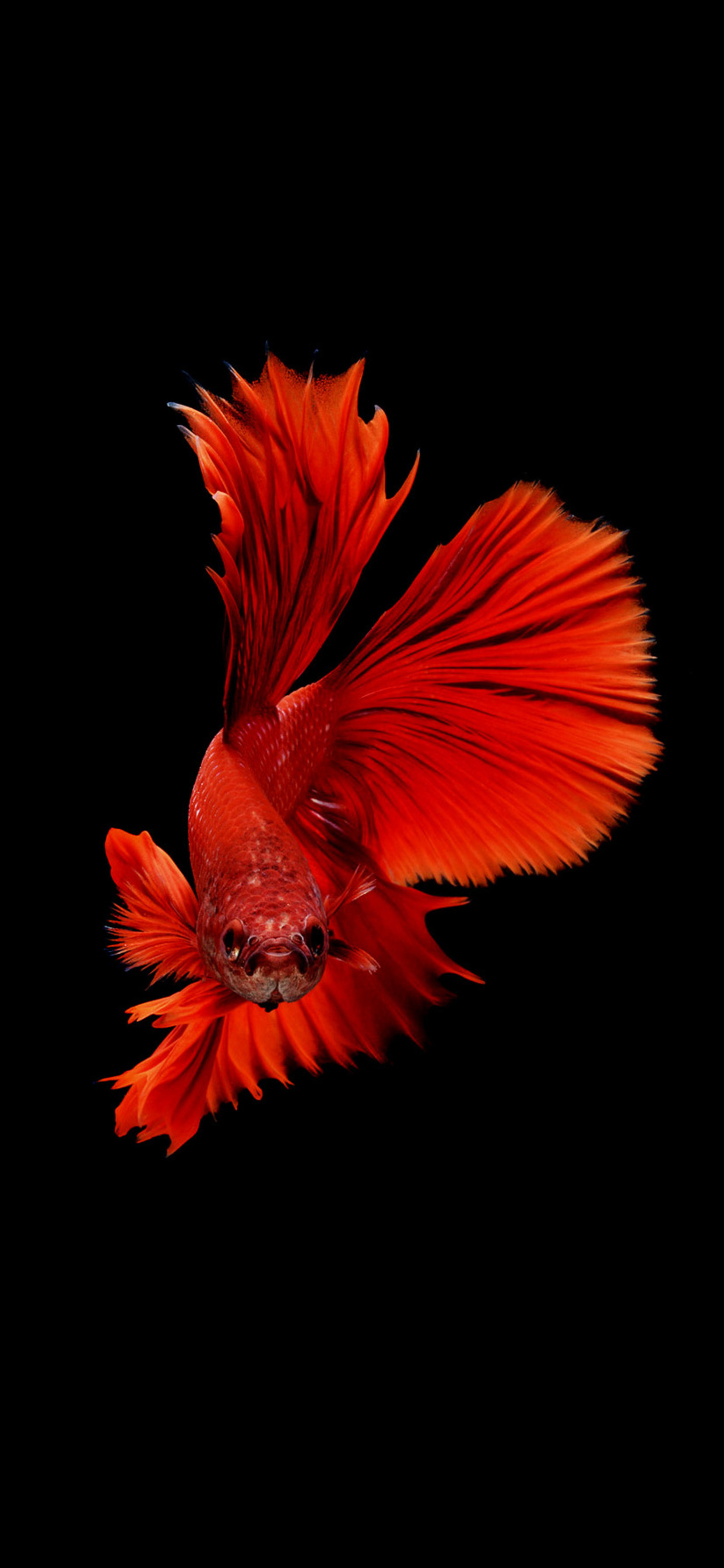 1242x2688 Betta Fish Iphone Xs Max Hd 4k Wallpapers Images