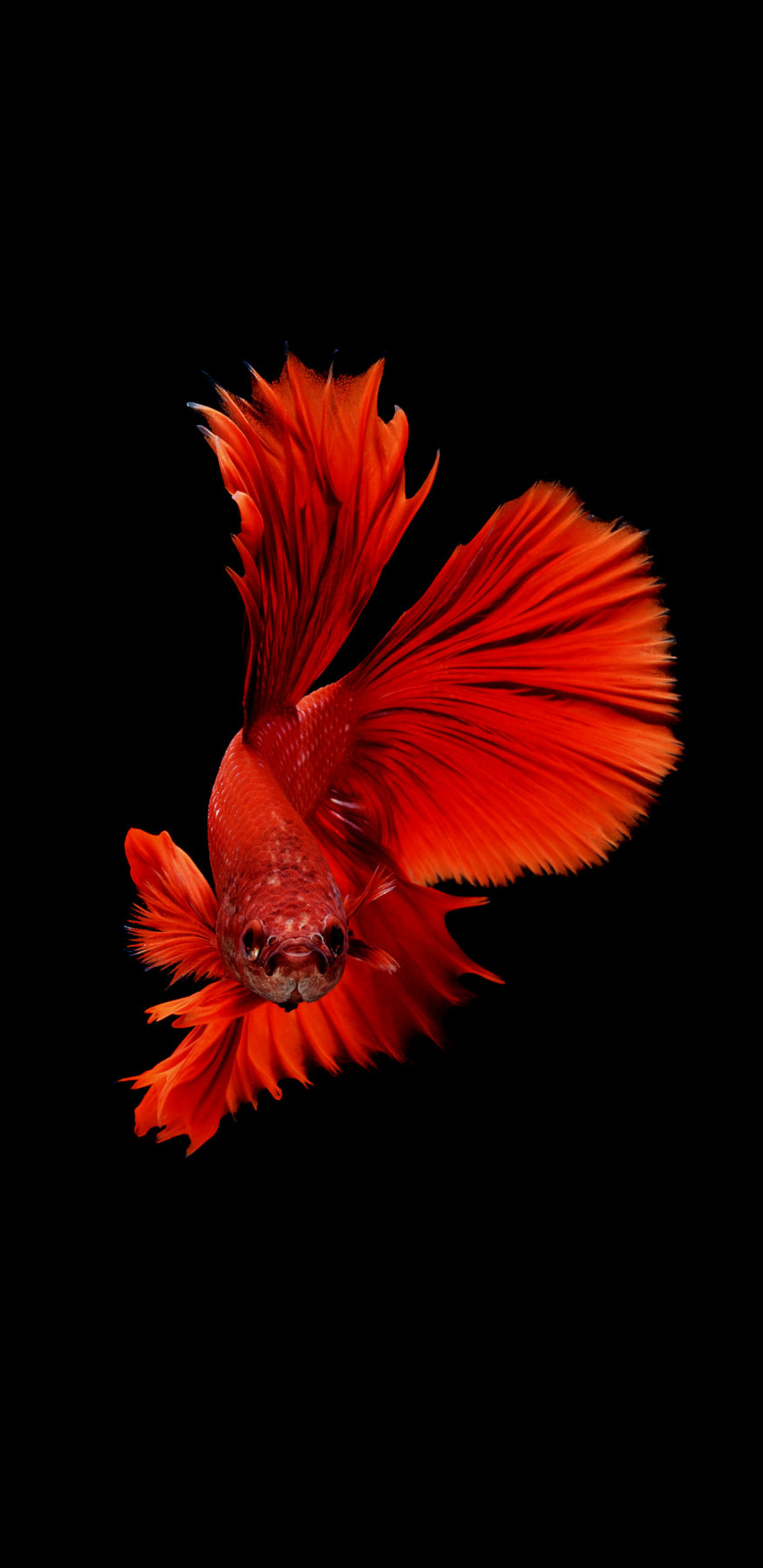 1440x2960 Betta Fish Samsung Galaxy Note 9 8 S9 S8 S8 Qhd Hd 4k
