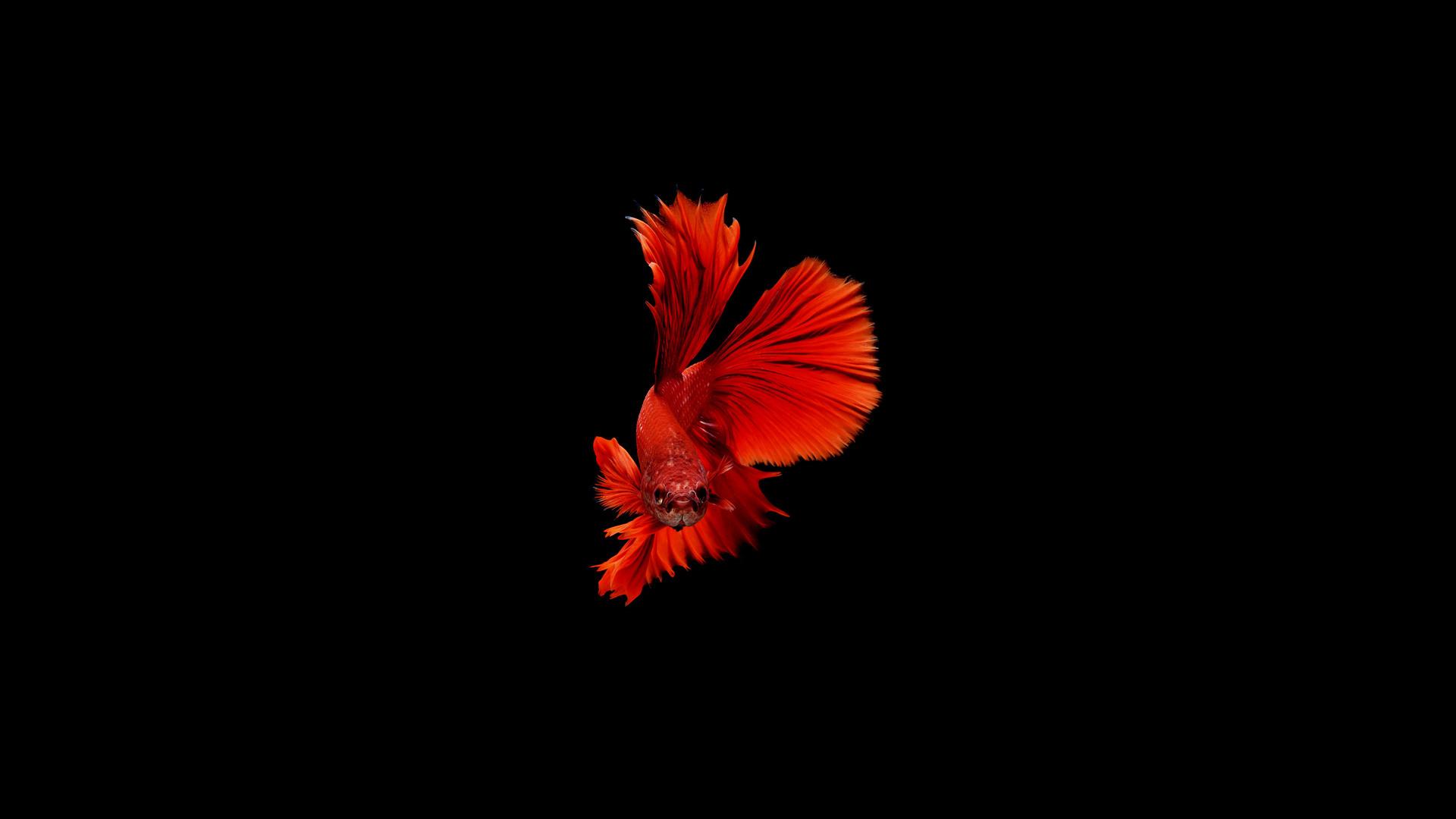 1920x1080 betta fish laptop full hd 1080p hd 4k wallpapers, images