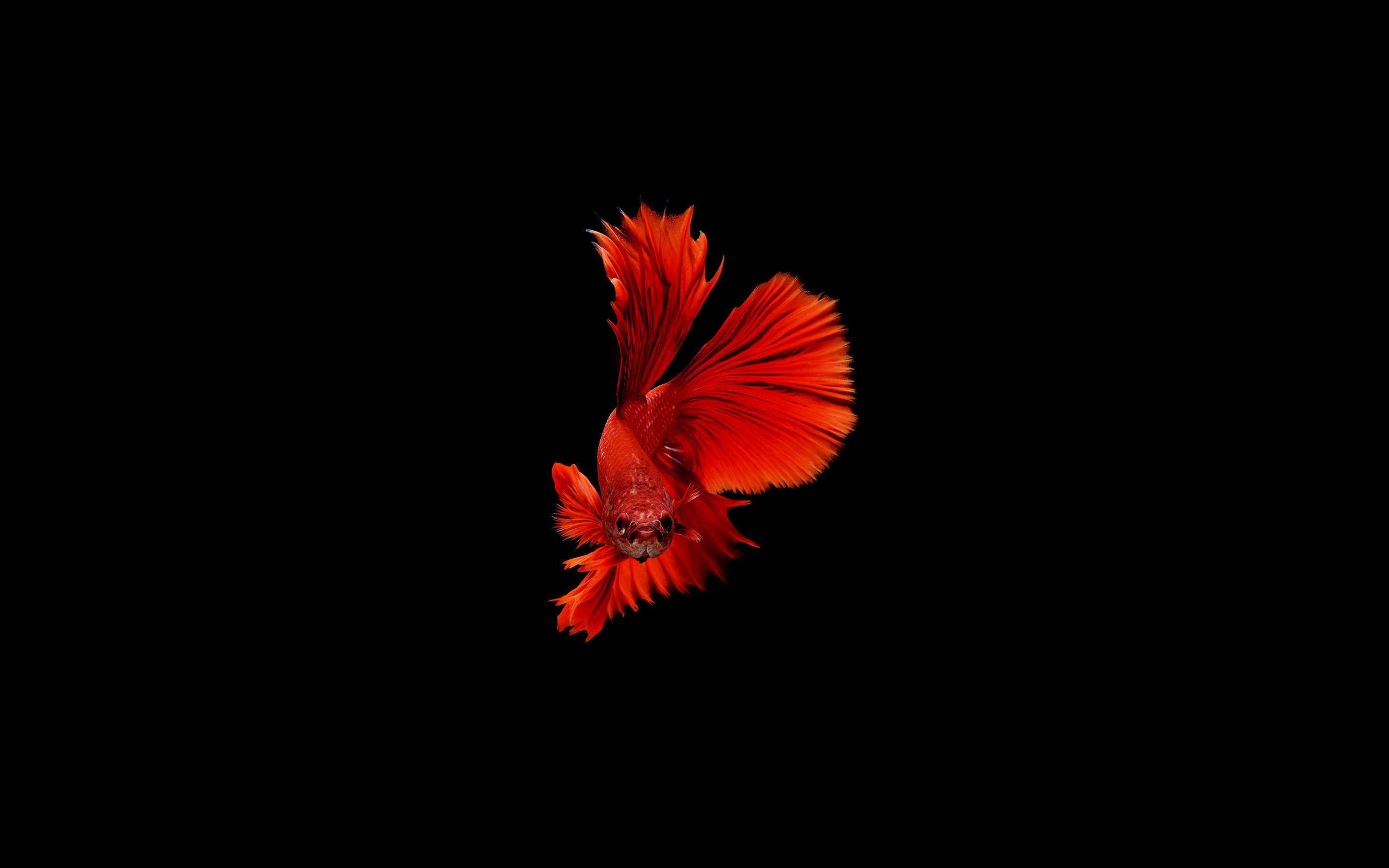 2880x1800 Betta Fish Macbook Pro Retina HD 4k Wallpapers Images