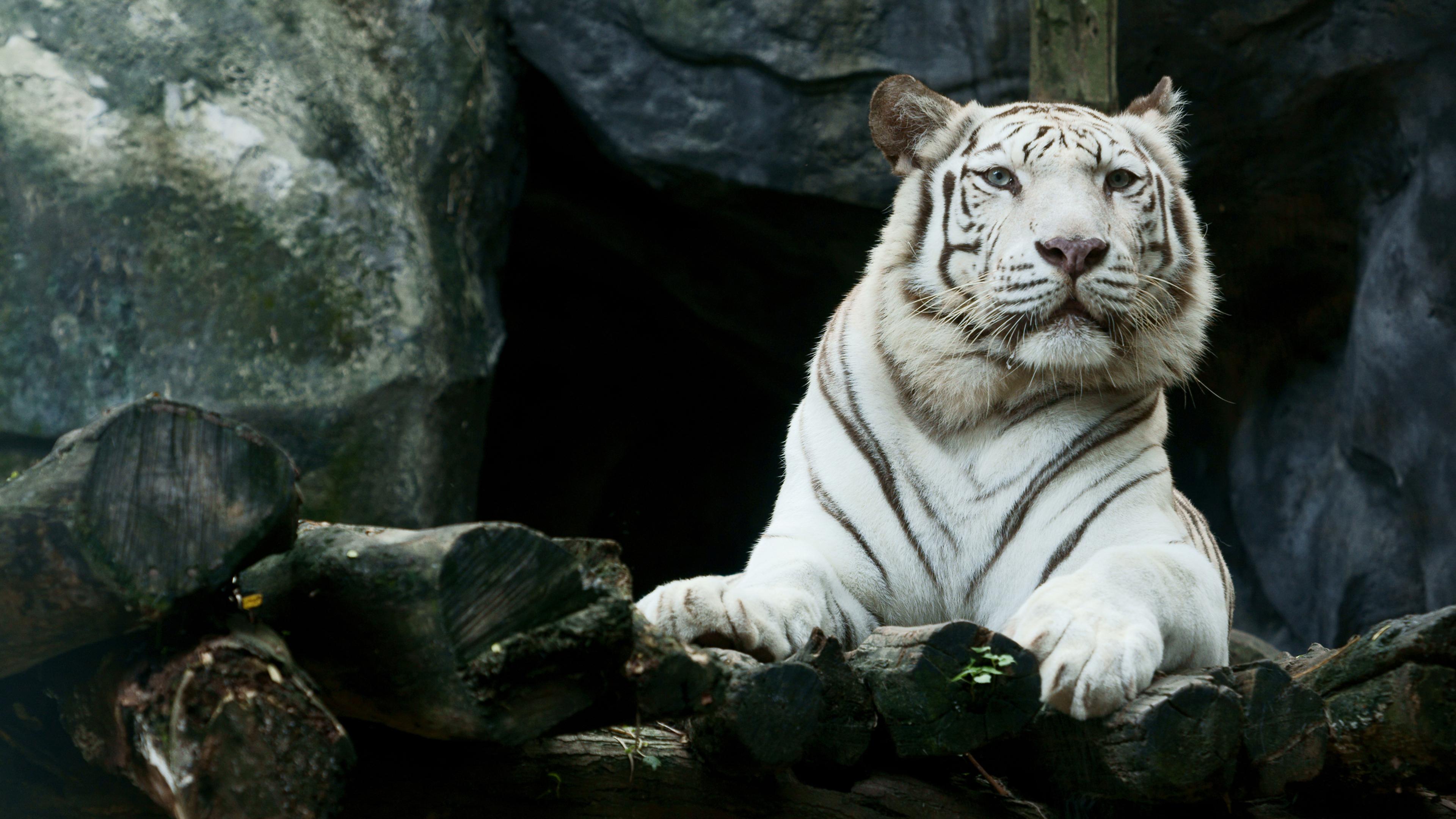 big-white-tiger-hd-ql.jpg