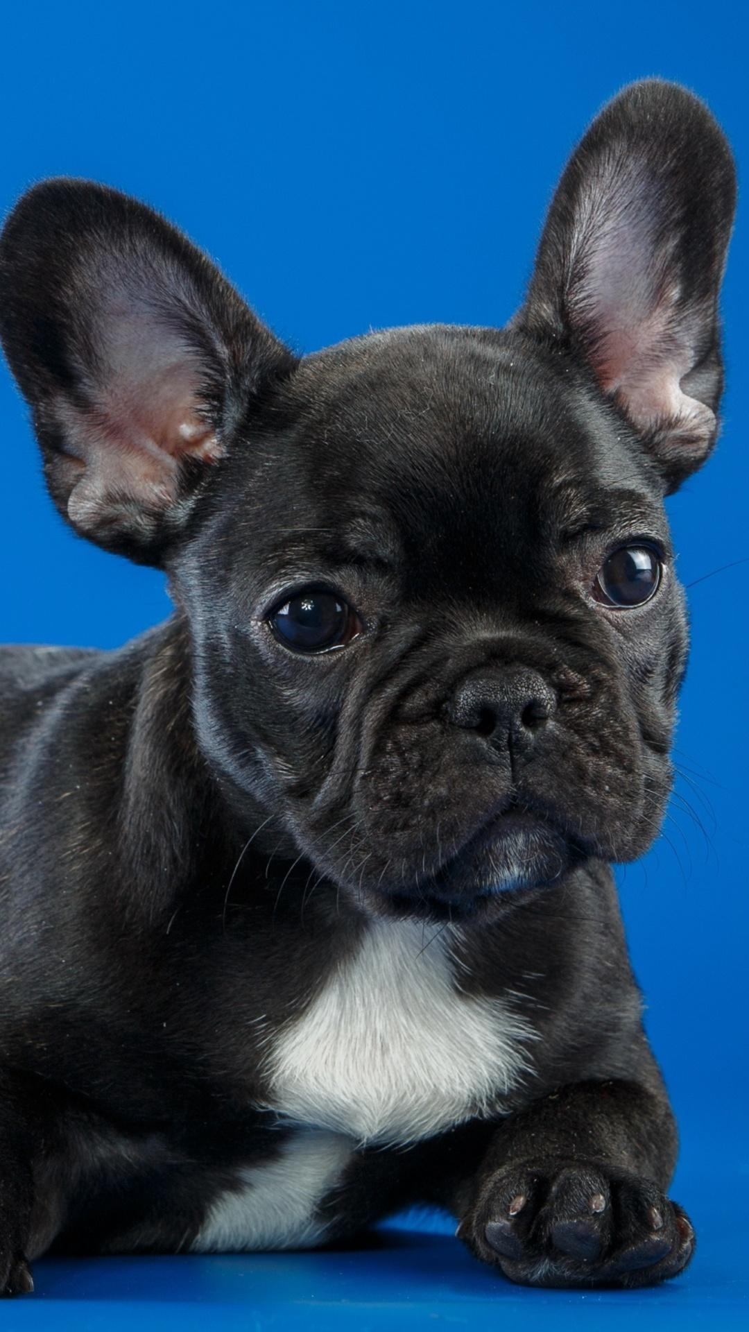 black-french-bulldog-cute-puppy-vf.jpg