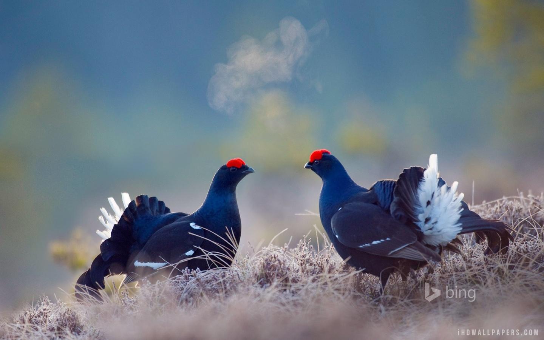 black-grouse-birds.jpg